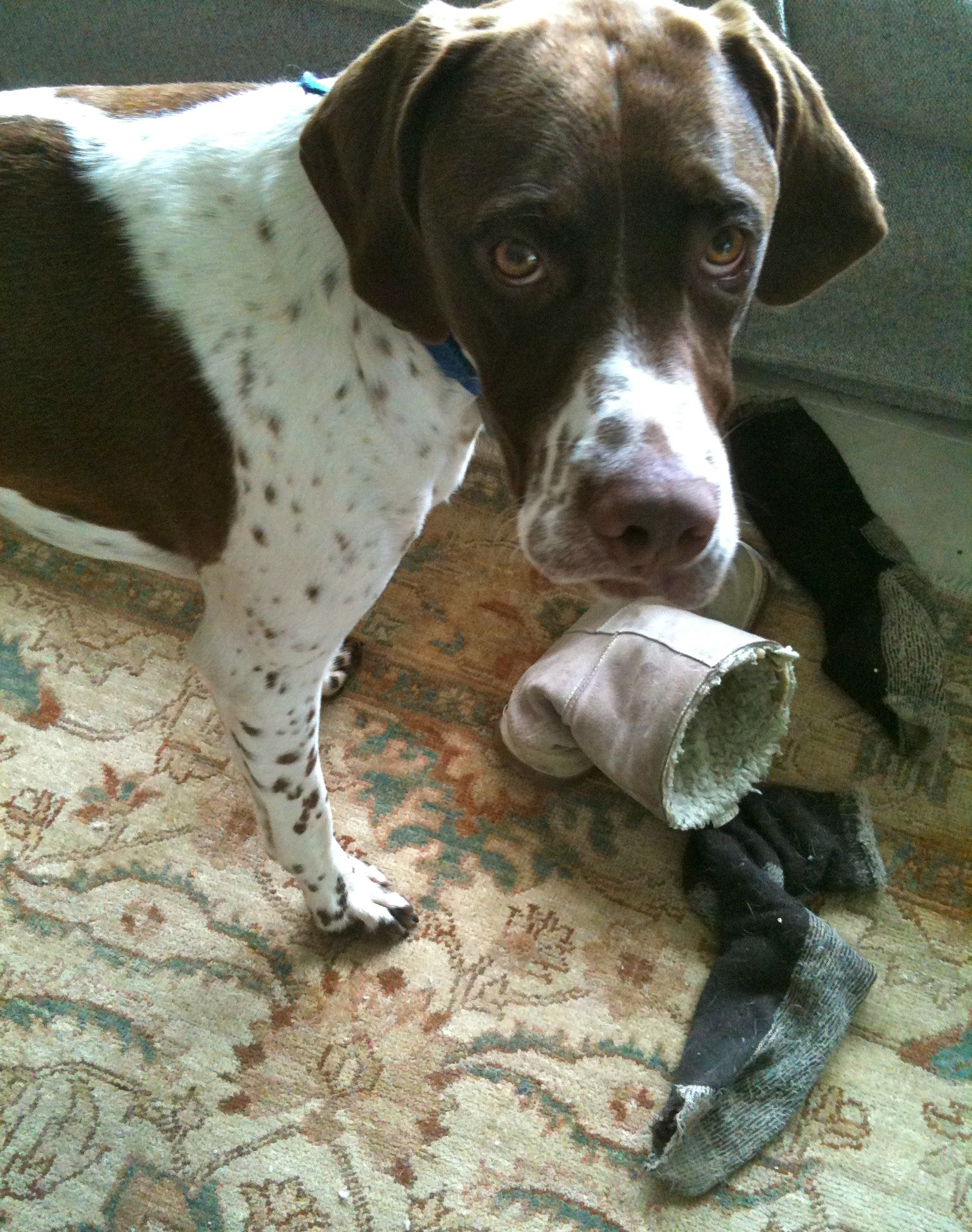 is my english pointer normal dailyoxford