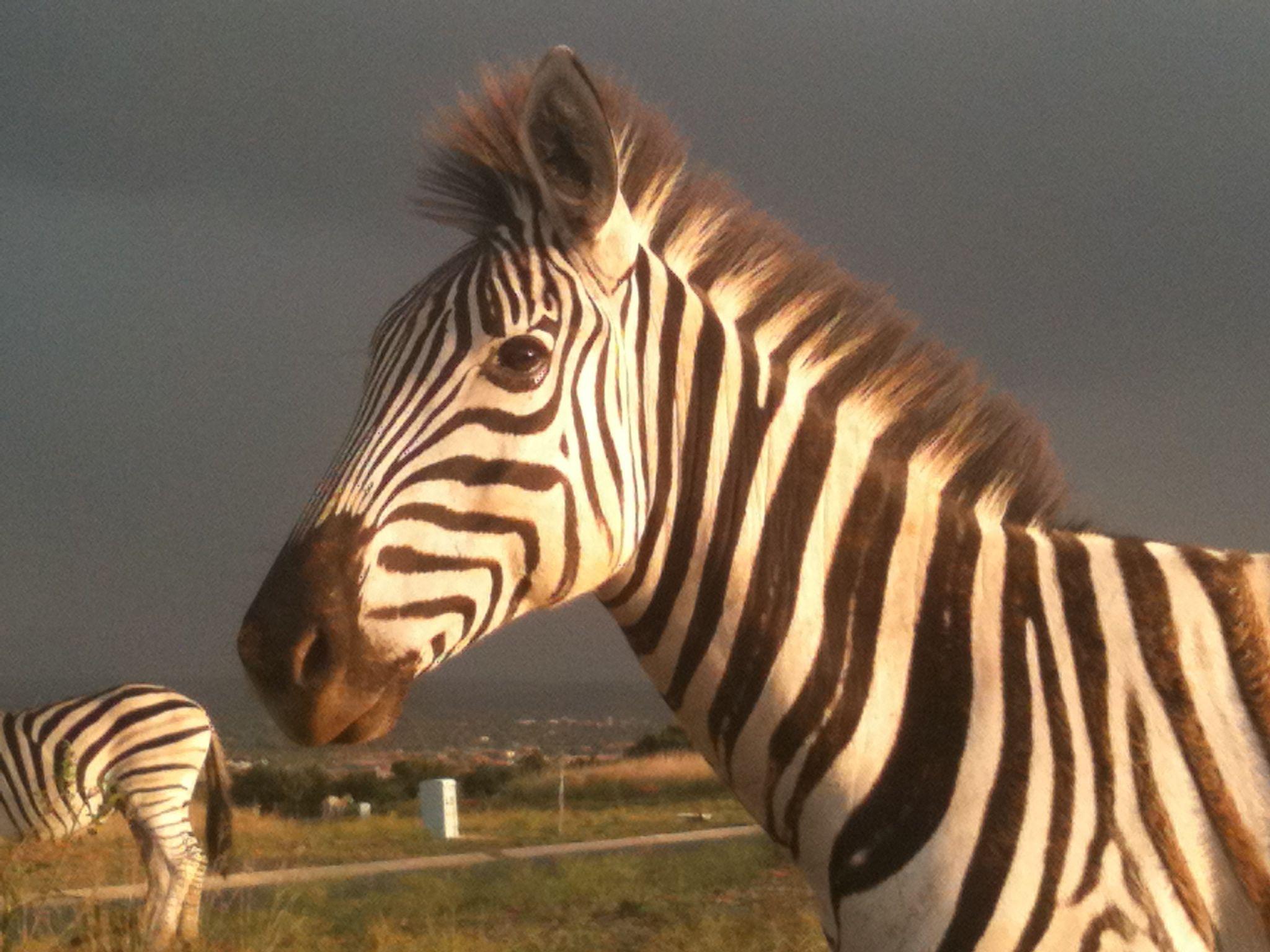 Zebra face profile - photo#8